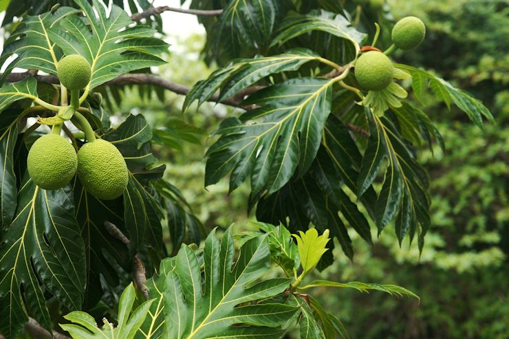 US charity plants 50,000 breadfruit trees in Haiti, Jamaica to combat Caribbean hunger